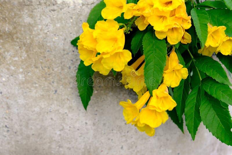 Flor de trombeta, pessoa idosa amarela foto de stock royalty free