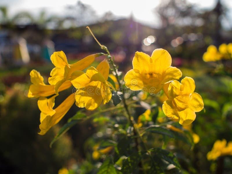 Flor de trompeta amarilla contra la luz de Sun fotografía de archivo