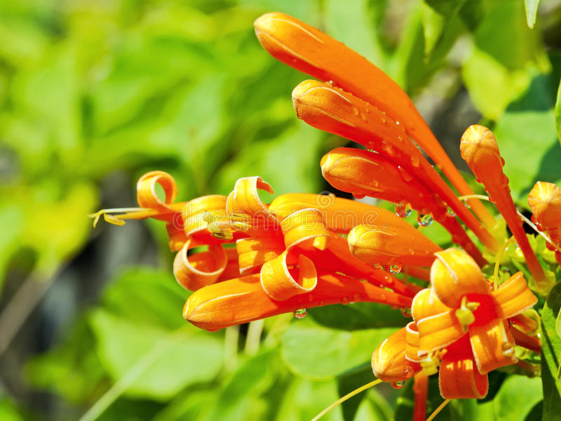 Flor de trompeta anaranjada imagenes de archivo