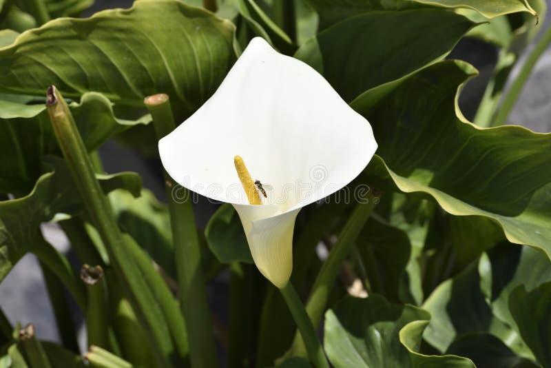 Flor de trompeta con la avispa fotografía de archivo
