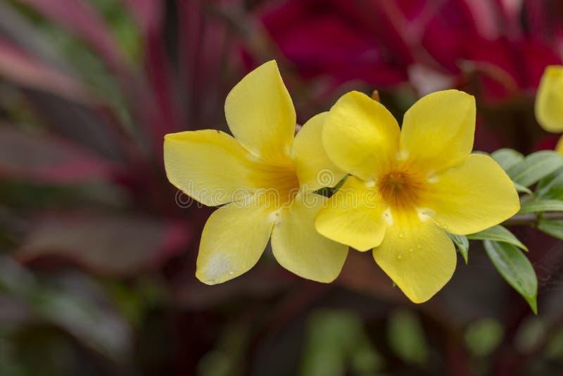 Flor de trompeta de oro amarilla fotografía de archivo