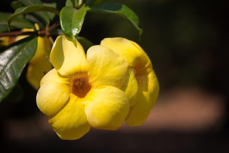 Flor de trompeta de oro de la campana amarilla en el jardín imagenes de archivo