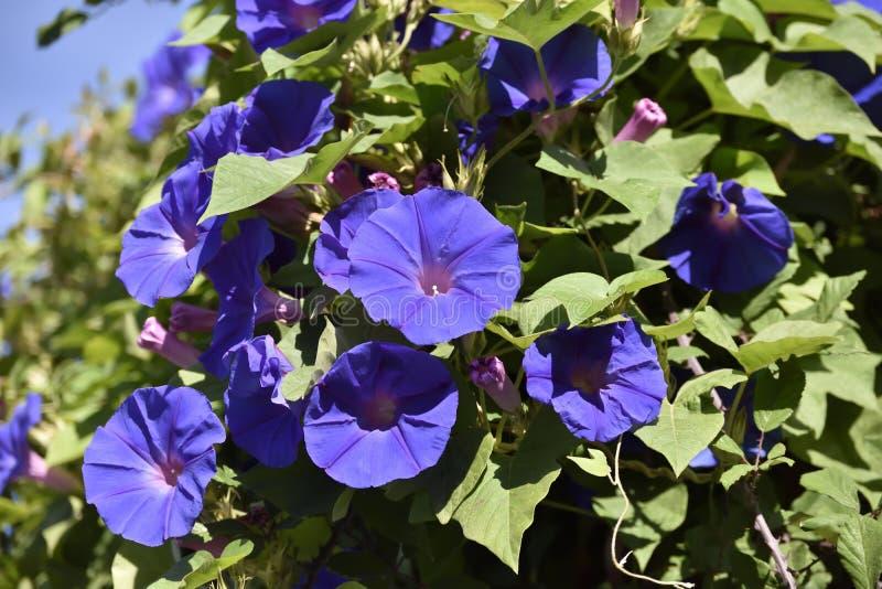 Flor de trompeta púrpura de la planta que sube que cuelga de un polo foto de archivo