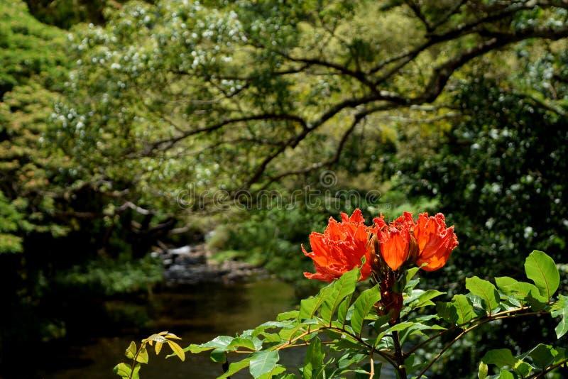 Flor de Tulip Tree del africano en fondo de la selva de Kauai Hawaii imagen de archivo