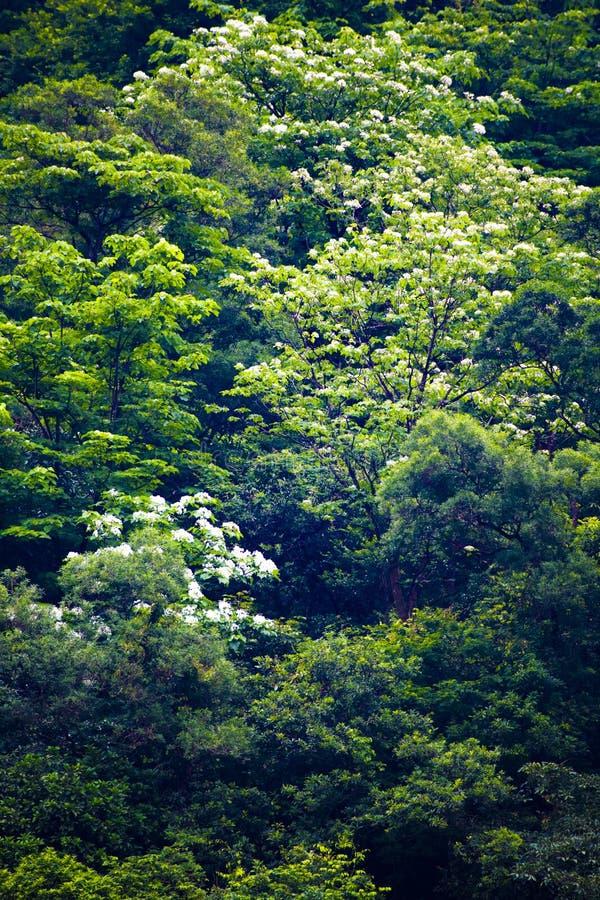 Flor de Tung na floresta imagens de stock