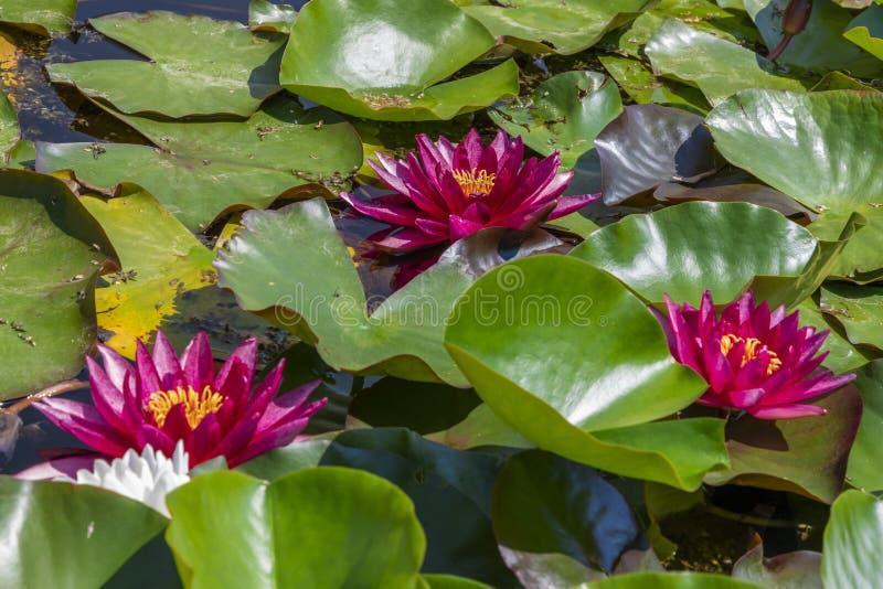 Flor de uma água de Rubra lilly foto de stock royalty free