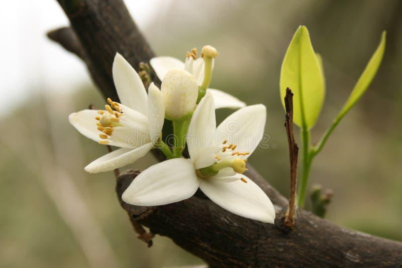 Flor de uma árvore alaranjada fotografia de stock royalty free