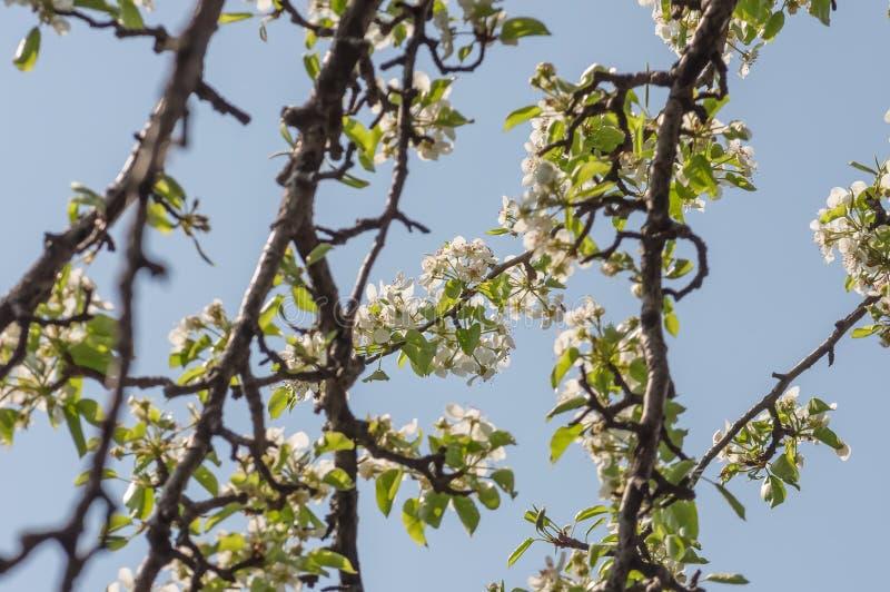 Flor de uma árvore de pera contra o céu azul imagem de stock royalty free