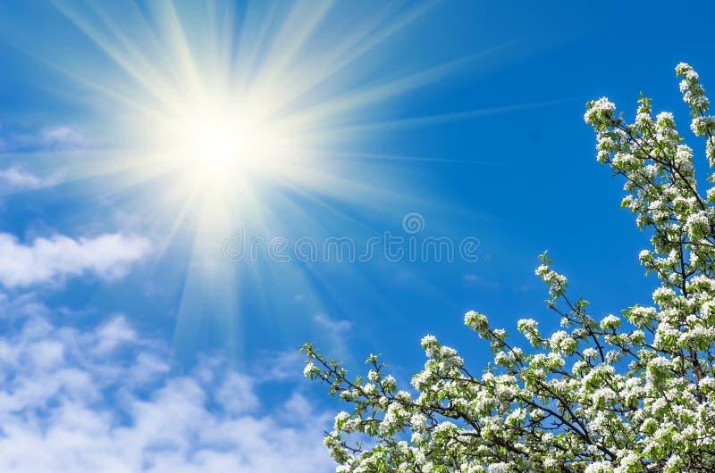 Flor de uma árvore de pera contra o céu azul imagens de stock royalty free