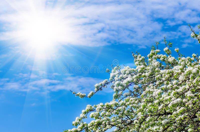Flor de uma árvore de pera contra o céu azul foto de stock