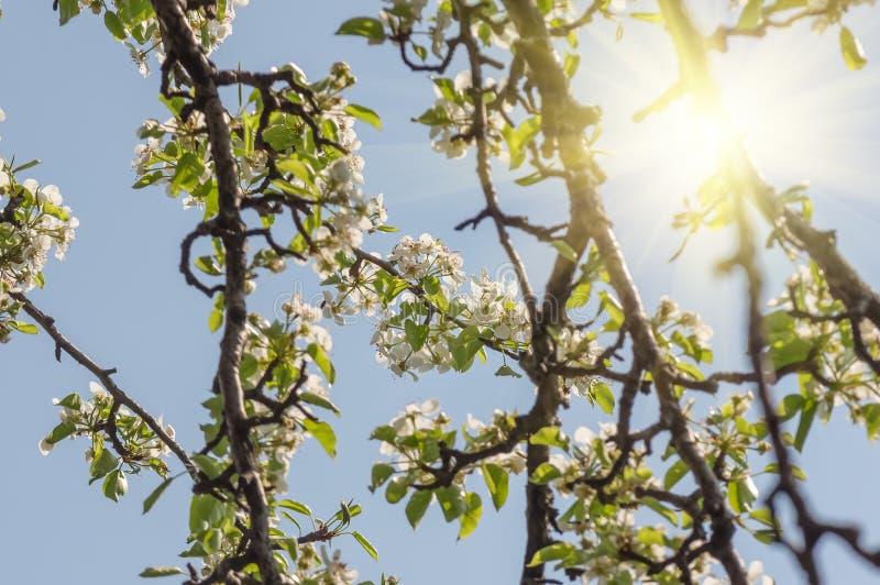 Flor de uma árvore de pera contra o céu azul imagens de stock