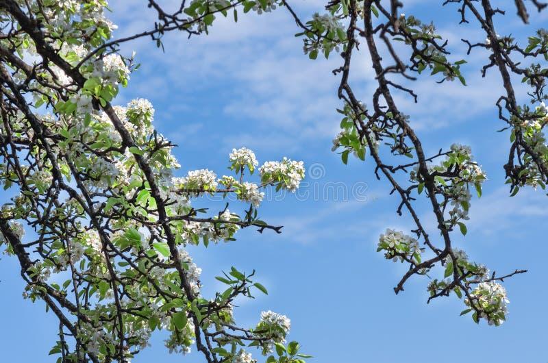 Flor de uma árvore de pera contra o céu azul fotografia de stock royalty free