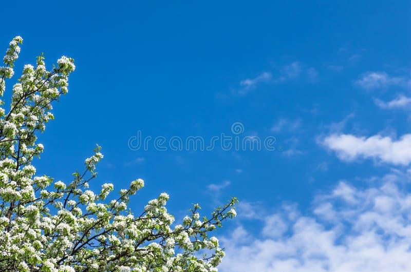 Flor de uma árvore de pera contra o céu azul foto de stock royalty free