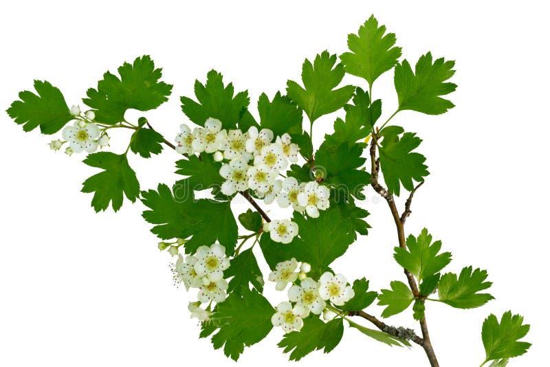 Flor de uma árvore do hawthorne fotografia de stock royalty free