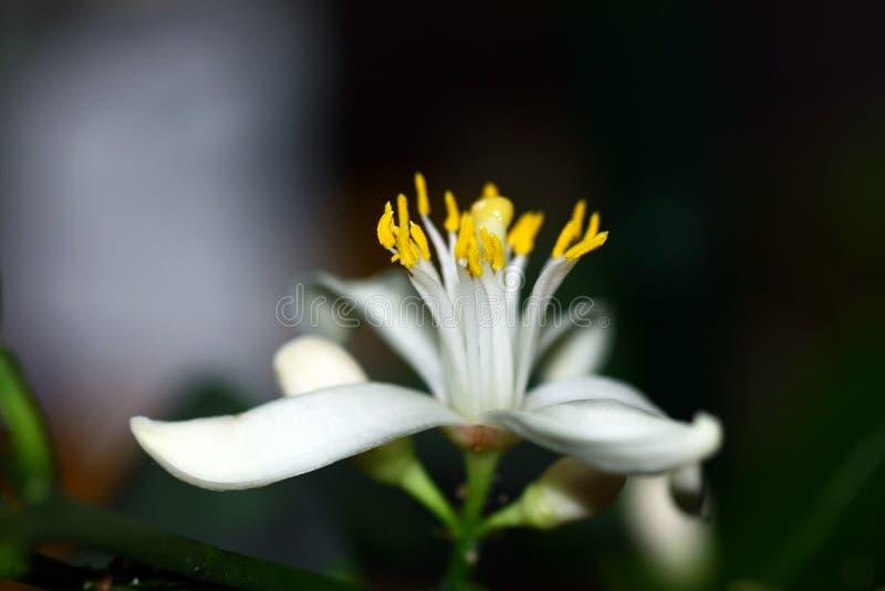 Flor de uma árvore de limão imagens de stock royalty free