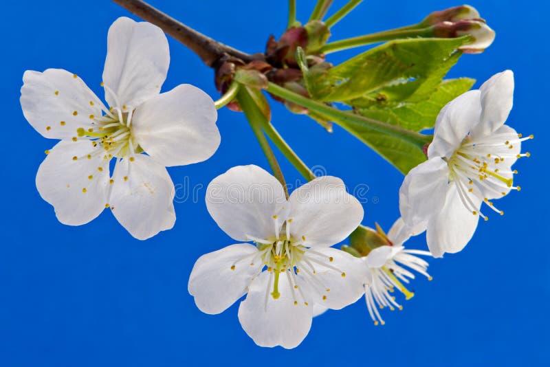 Flor de uma cereja imagem de stock royalty free