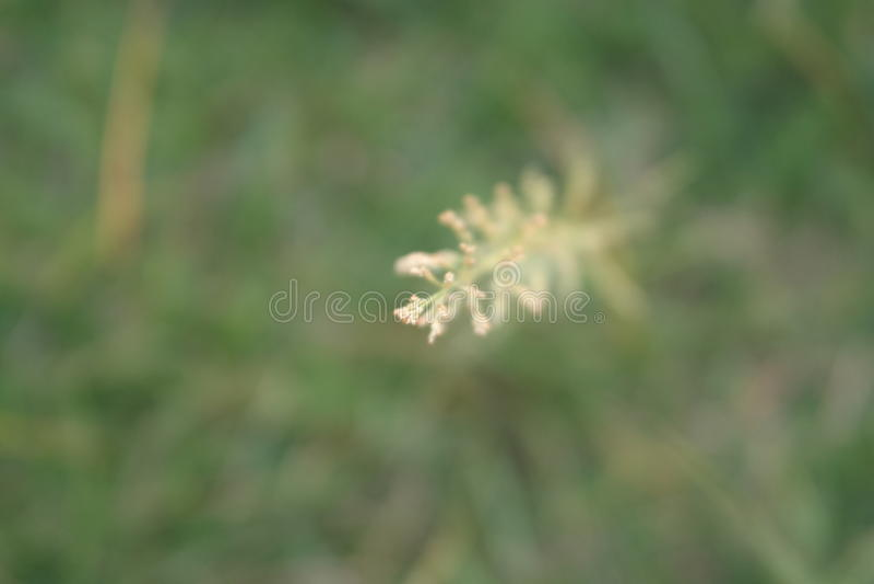 Flor de uma grama foto de stock royalty free