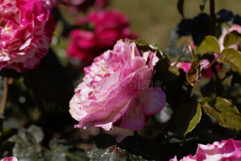 Flor de uma rosa da abracadabra imagens de stock