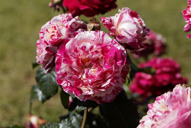 Flor de uma rosa da abracadabra fotografia de stock