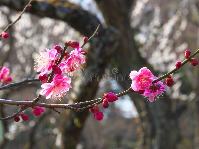 Flor de Ume ou flor da ameixa, pressagio da chegada da mola em Japão foto de stock
