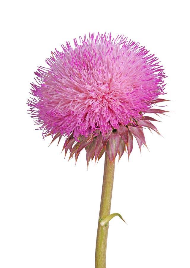Flor de un cardo de almizcle aislado en blanco fotografía de archivo