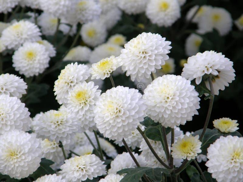 Flor de un crisantemo fotos de archivo libres de regalías