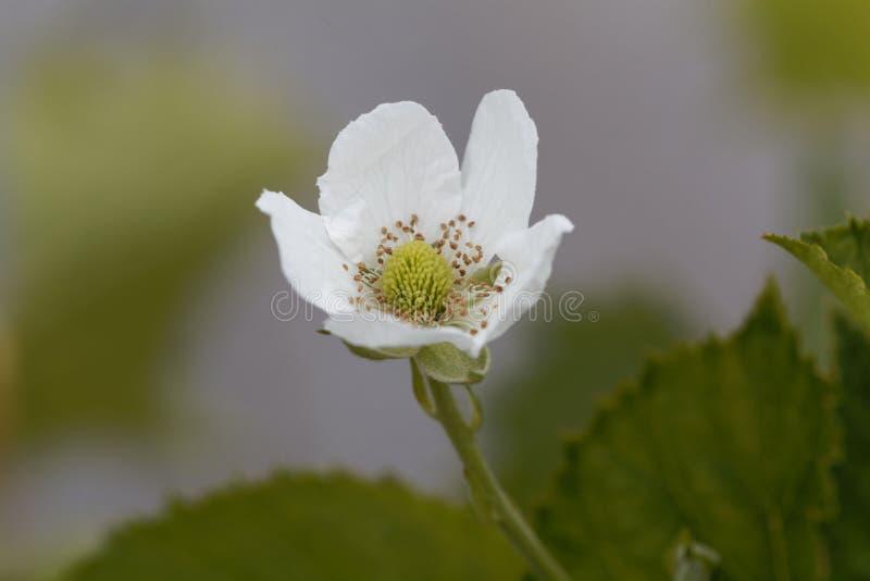 Flor de un fruticosus del Rubus de la zarzamora fotografía de archivo