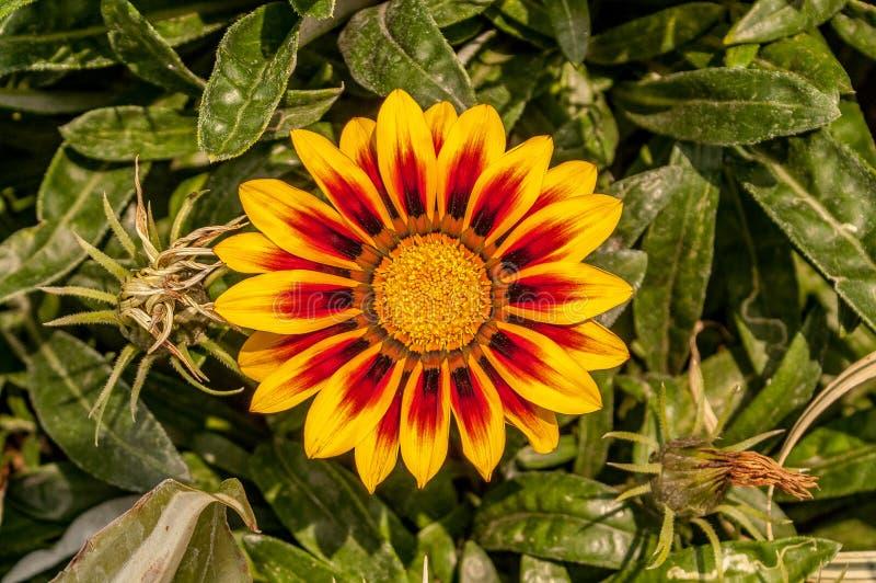 Flor de un gerbera amarillo y rojo imagenes de archivo