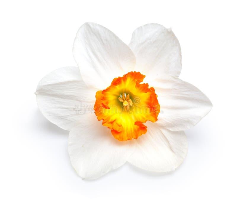 Flor de un narciso fotos de archivo