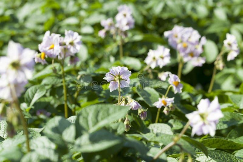 Flor de una patata, primer imagen de archivo