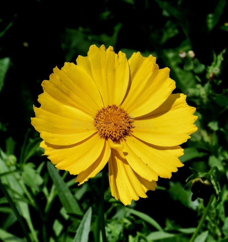 Flor de una planta de compás imagen de archivo