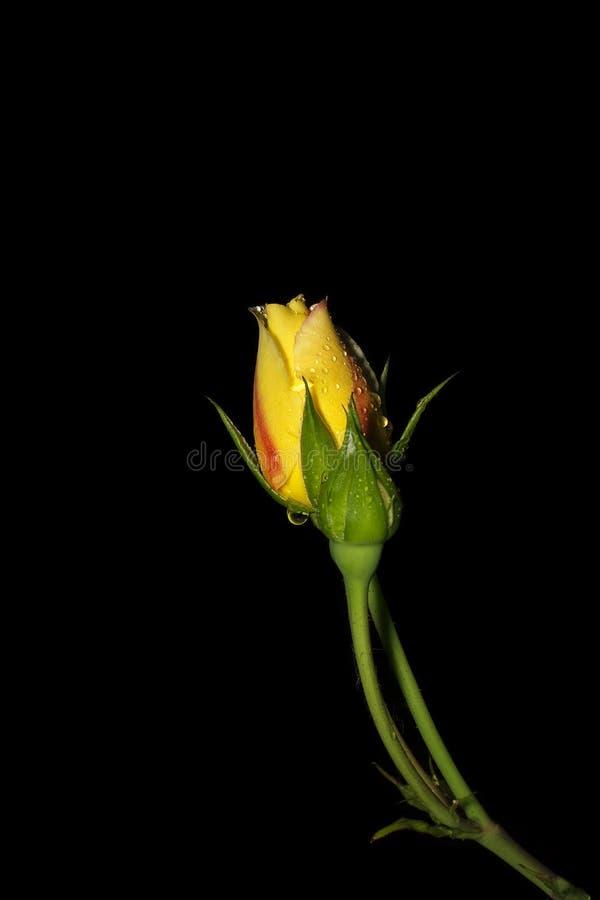 Flor de Unbloomed Rosa com gotas da água isolada no backgro preto imagens de stock