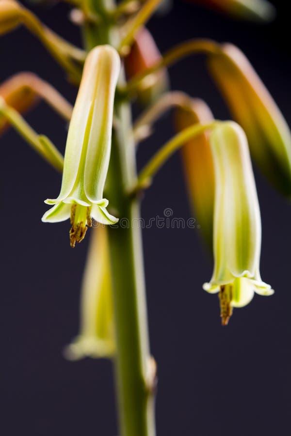 Flor de Vera del áloe con los detalles fotografía de archivo libre de regalías