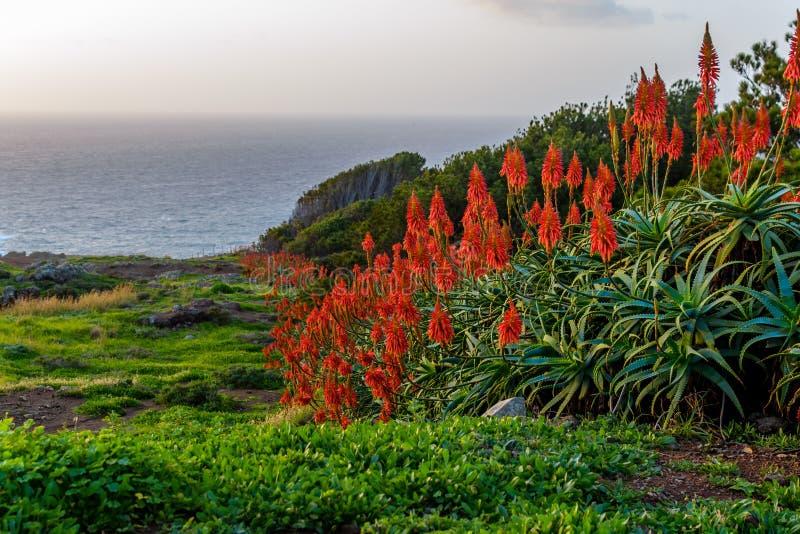 Flor de vera do aloés que floresce perto do oceano no nascer do sol na ilha de Madeira fotos de stock royalty free