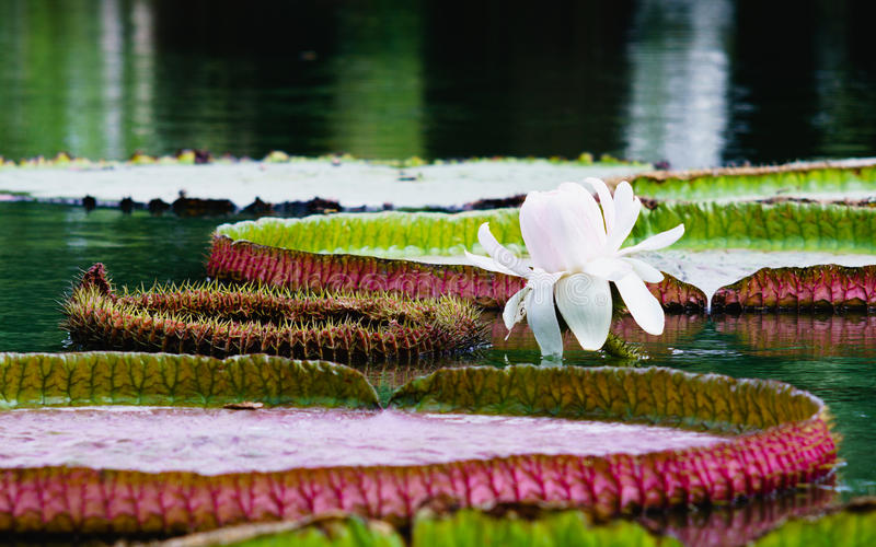 Flor de Victoria Amazonica, ou de Victoria Regia, o maior fotos de stock royalty free
