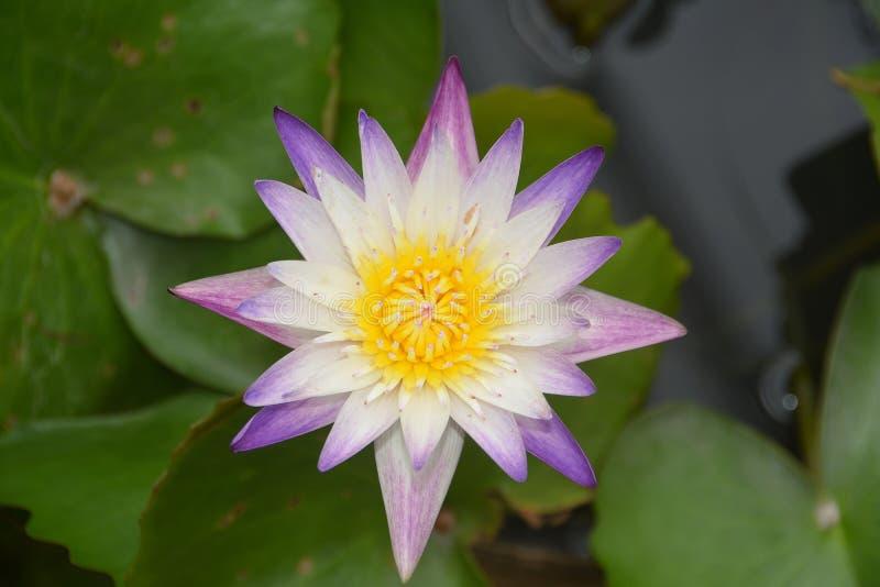 Flor de Violet White Nilumbo Nucifera Lotus en la piscina de agua foto de archivo libre de regalías
