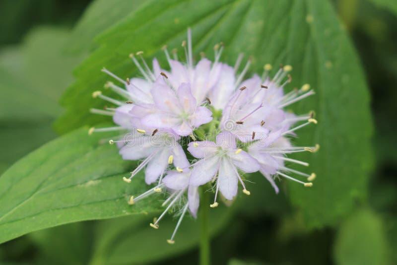 Flor de Virginia Waterleaf - Hydrophyllum Virginianum foto de archivo libre de regalías