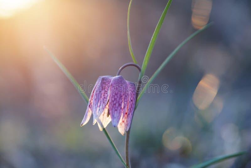 Flor de Xadrez selvagem em perigo de extinção no lindo pôr do sol & x28;Fritillaria meleagris& x29; ou o friccionário da cabeça d fotografia de stock royalty free