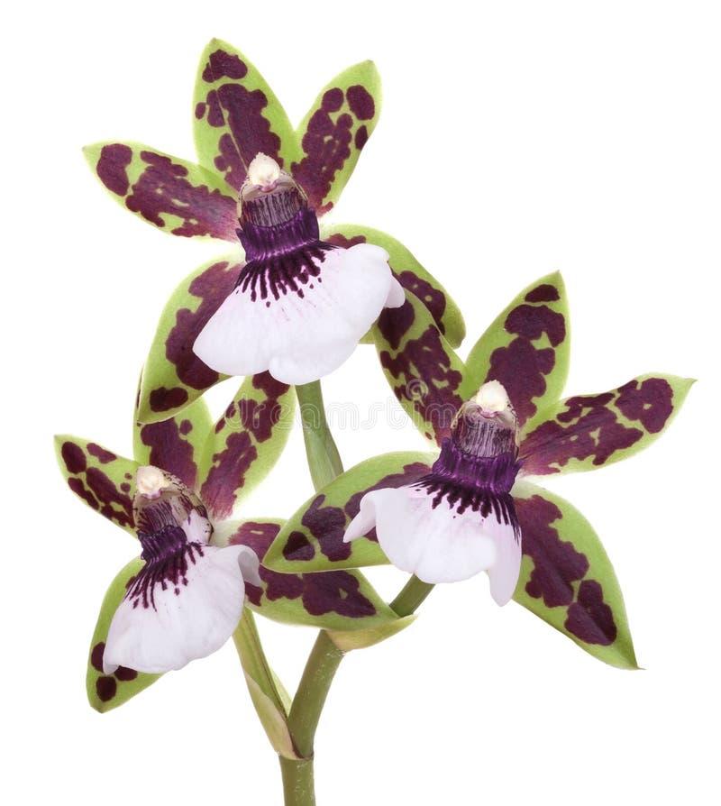 Flor de Zigopetalum de las orquídeas imagenes de archivo