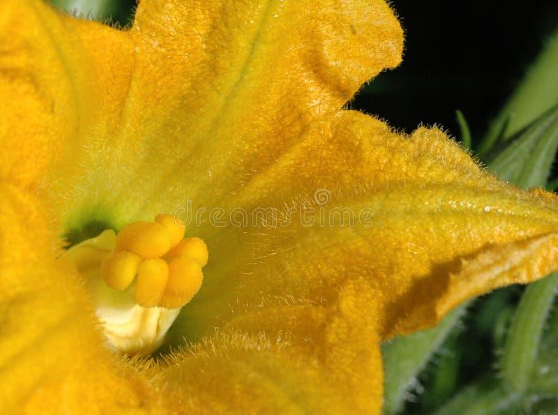 Flor de Zuchinni imagen de archivo