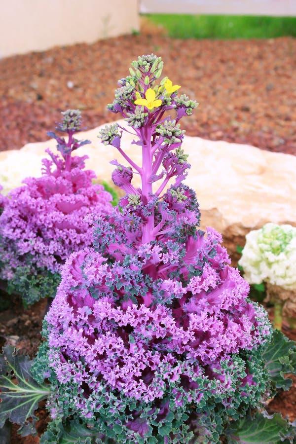 Flor decorativa decorativa do repolho imagem de stock royalty free