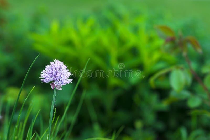 A flor decorativa roxa do alho cresce em um canteiro de flores verde no jardim fotografia de stock
