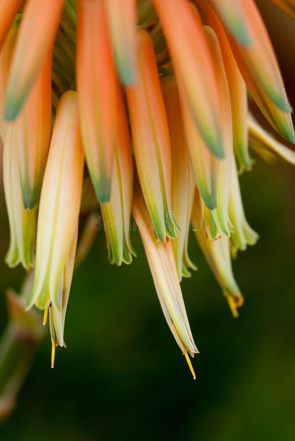 Flor del áloe imagen de archivo