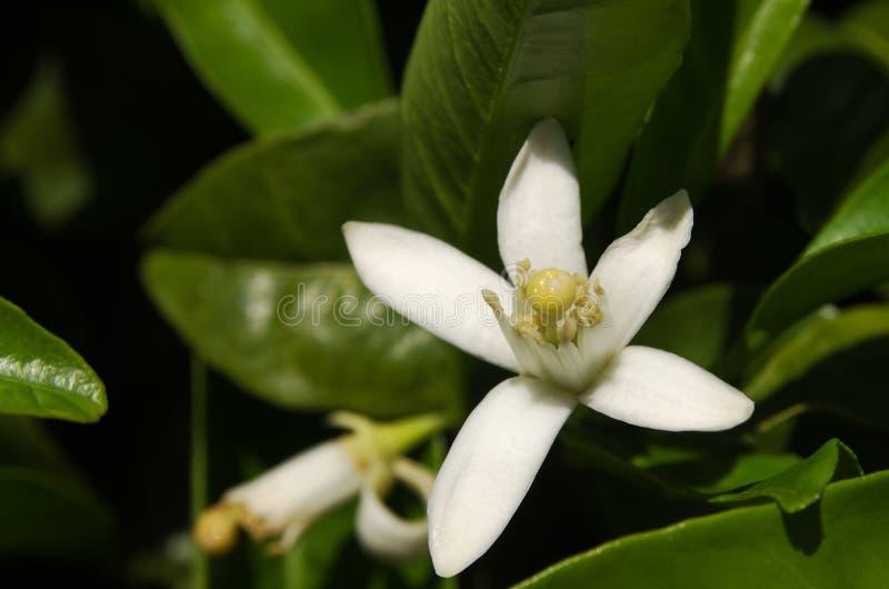 Flor del árbol anaranjado - sinensis de la fruta cítrica x fotografía de archivo libre de regalías
