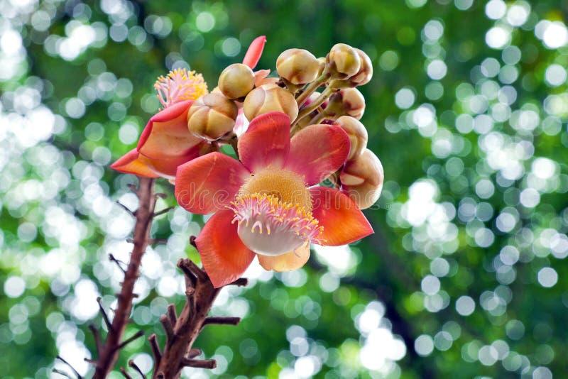 Flor del árbol de la bola de cañón fotografía de archivo