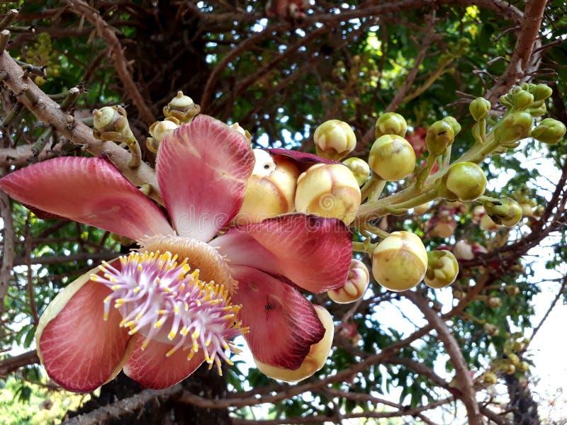 Flor del árbol de la bola de cañón imagen de archivo libre de regalías
