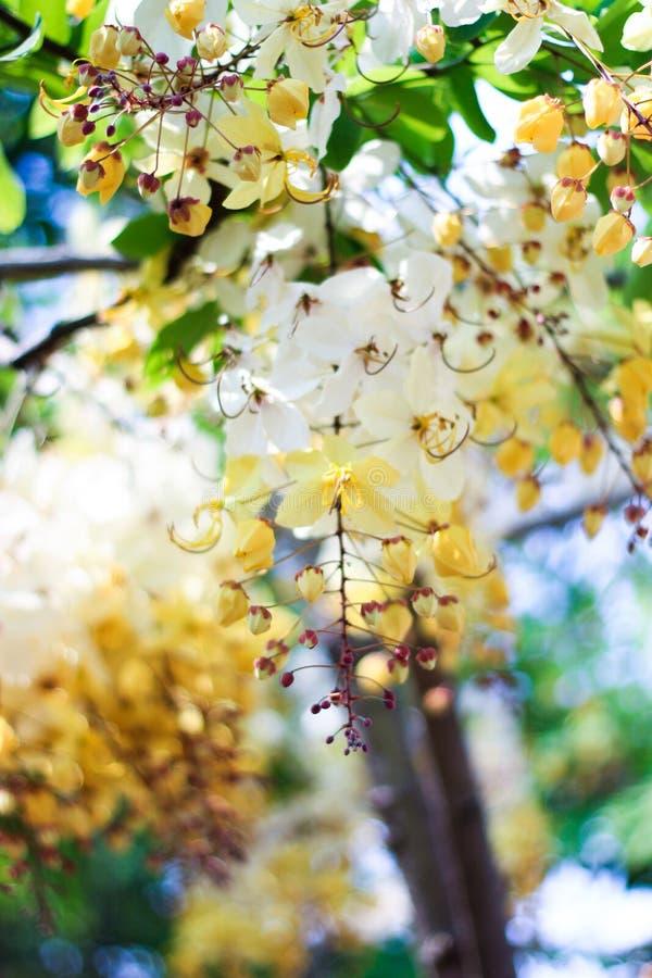 Flor del árbol de la ducha de arco iris o Ratchaphruek blanco fotos de archivo libres de regalías
