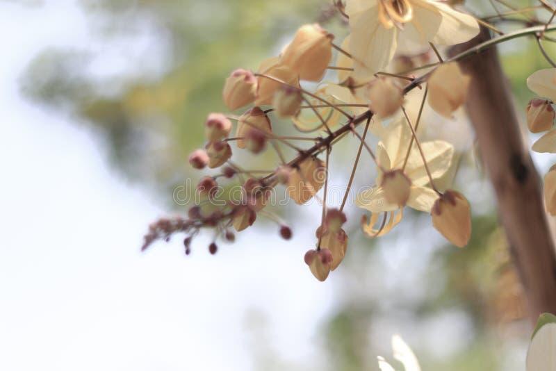 Flor del árbol de la ducha de arco iris o Ratchaphruek blanco imagen de archivo