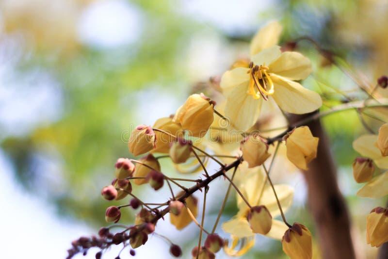 Flor del árbol de la ducha de arco iris o Ratchaphruek blanco foto de archivo