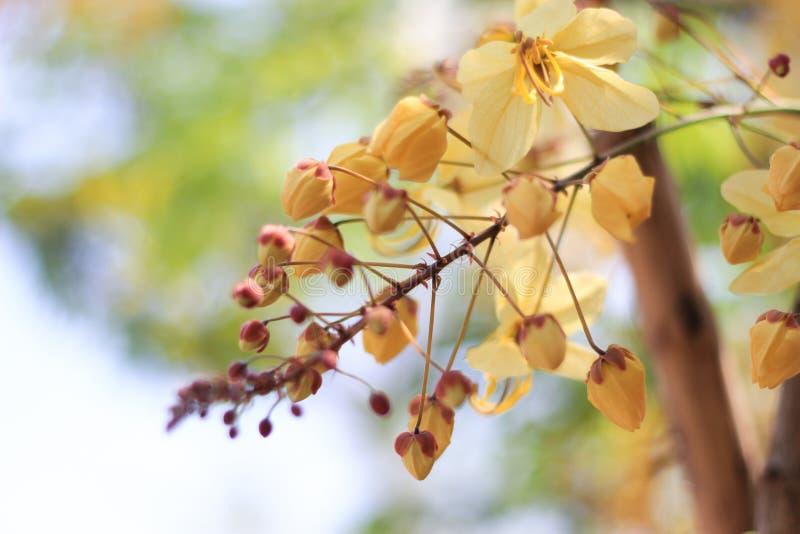 Flor del árbol de la ducha de arco iris o Ratchaphruek blanco fotografía de archivo